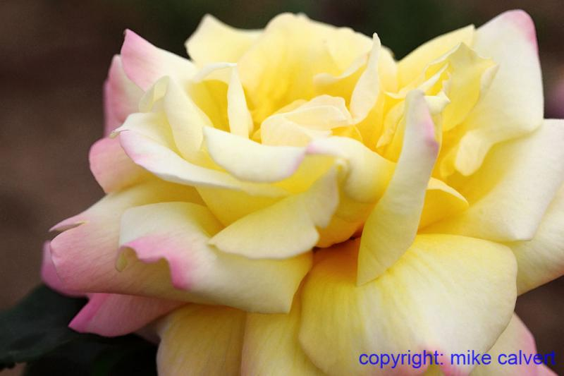 Yellow Roses With Pink Tips | www.pixshark.com - Images ...